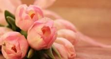 粉色溫馨郁金香