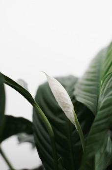 白掌花綠葉