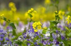 美麗小黃花