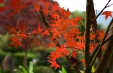 紅楓風景圖