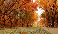 秋天 樹葉