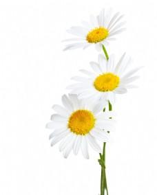 菊花野菊花雏菊春天鲜花花朵