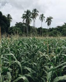 绿色的玉米地