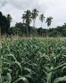 绿色玉米田地