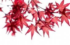 楓葉紅色秋天背景海報合成素材