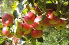 树枝上的苹果