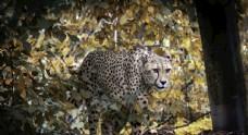 动物世界豹子摄影