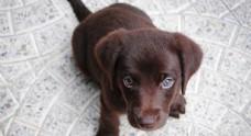 狗狗照片黑色拉布拉多