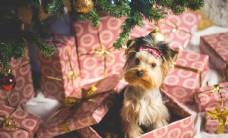 宠物壁纸丑萌狗狗圣诞节照片