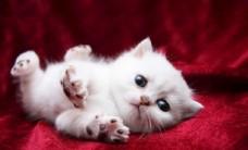 可爱小奶猫