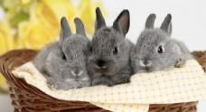 三只可爱兔子照片