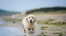 宠物狗狗照片拉布拉多