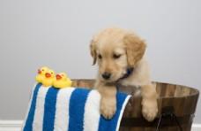 宠物动物合集金毛小奶狗