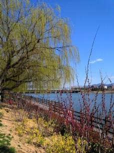 蓝天白云柳树河边春天风景