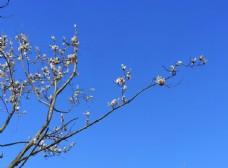 蓝色背景白色玉兰花枝条