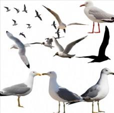 海鸥png免扣
