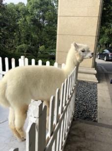 羊驼 可爱 萌 摄影 动物