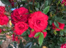 春天大红色月季花花朵植物