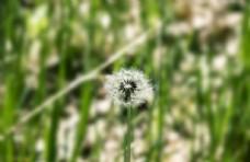 春天绿色植物草地蒲公英高清摄影
