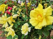 春天户外黄色月季花花园植株