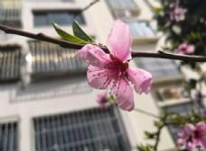 春天的一支桃花花朵