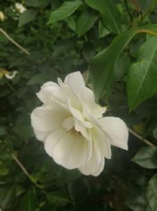 白色侧面月季花