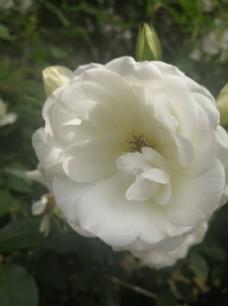 清新的白色月季花