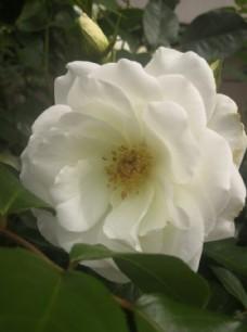 户外白色的月季花