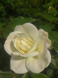 一朵白色月季花
