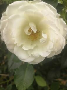 唯美白色的月季花